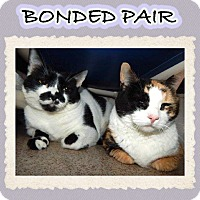 Domestic Mediumhair Cat for adoption in Mansfield, Texas - Callie
