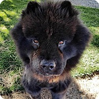 Chow Chow Dog for adoption in Ventura, California - Charlie