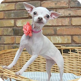 Chihuahua Dog for adoption in Benbrook, Texas - Daisy