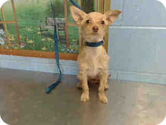 Chihuahua Puppy for adoption in San Bernardino, California - URGENT ON 10/20 San Bernardino