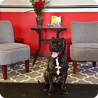 Cane Corso Mix Dog for adoption in New Albany, Ohio - Malcom