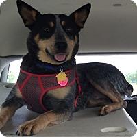 Adopt A Pet :: Roo - Minneapolis, MN