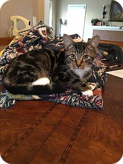 Domestic Shorthair Kitten for adoption in Berkley, Michigan - Mittens