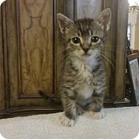 Domestic Mediumhair Cat for adoption in Lake Jackson, Texas - Joe at The Box!