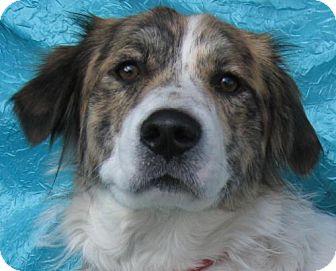 Great Pyrenees/Golden Retriever Mix Dog for adoption in Cuba, New York - Terry Voss Goodman