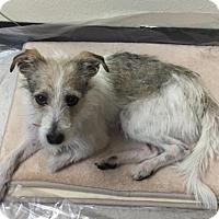 Italian Greyhound/Wirehaired Fox Terrier Mix Dog for adoption in Evergreen, Colorado - Fabio