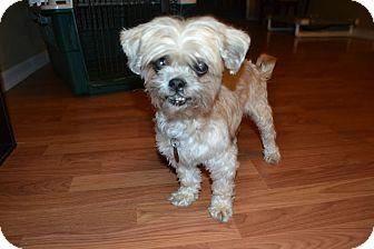 Shih Tzu Mix Dog for adoption in Marietta, Georgia - Lulu