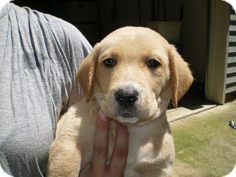 Schnauzer (Miniature)/Basset Hound Mix Puppy for adoption in Apex, North Carolina - Henry