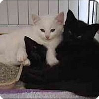 Adopt A Pet :: Inky's Shadow - Merrifield, VA