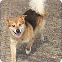 Sheltie, Shetland Sheepdog Mix Dog for adoption in Kingwood, Texas - Sam