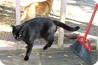 Domestic Shorthair Cat for adoption in DeRidder, Louisiana - Leonitis