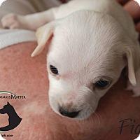 Adopt A Pet :: FIONA - Hurricane, UT