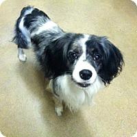 Adopt A Pet :: Albert - Canoga Park, CA