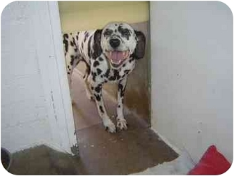 Dalmatian Dog for adoption in Mesa, Arizona - Patience