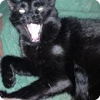 Domestic Shorthair Cat for adoption in Randleman, North Carolina - Burt