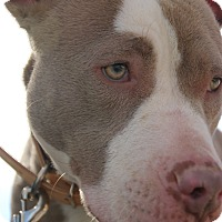 Adopt A Pet :: Destiny - Las Vegas, NV