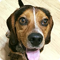 Adopt A Pet :: Copper Top - Knoxville, TN