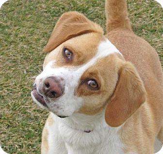 Beagle Mix Dog for adoption in Woodstock, Illinois - Wendy