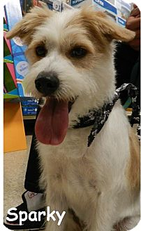 Jack Russell Terrier/Terrier (Unknown Type, Medium) Mix Dog for adoption in Upland, California - Sparky