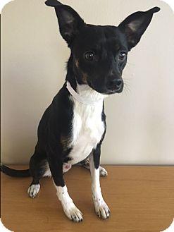 Rat Terrier Mix Dog for adoption in Gahanna, Ohio - Floyd