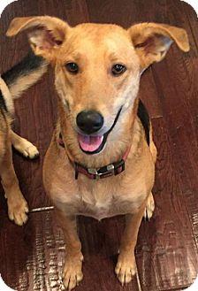 German Shepherd Dog/Great Pyrenees Mix Dog for adoption in Boston, Massachusetts - Stella