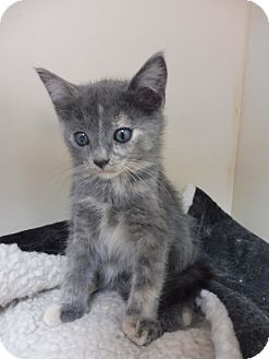 American Shorthair Kitten for adoption in Creston, British Columbia - Ivy