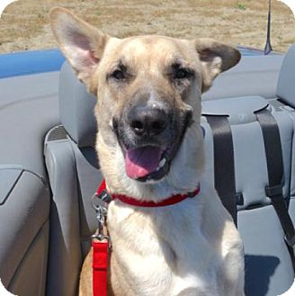 Shepherd (Unknown Type) Mix Dog for adoption in Sunnyvale, California - Jake