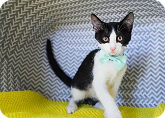 Domestic Shorthair Kitten for adoption in Montclair, California - Artichoke