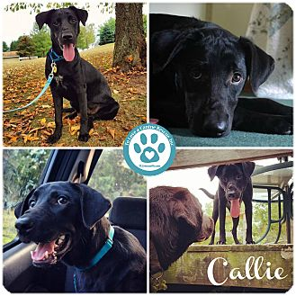 Labrador Retriever Mix Dog for adoption in Kimberton, Pennsylvania - Callie