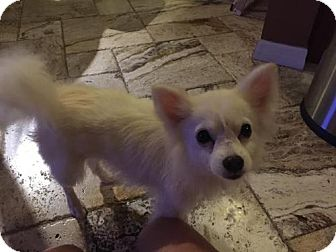 Pomeranian Dog for adoption in Lithia, Florida - Ellsaa - 16 Adoption pending