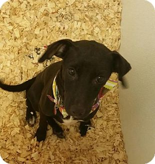 Whippet Mix Dog for adoption in Cherry Hill, New Jersey - Caye