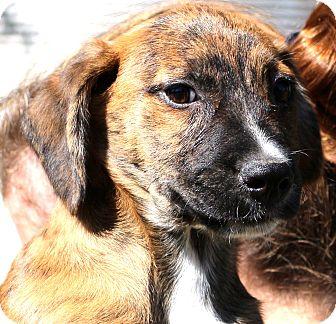 Boxer/Shepherd (Unknown Type) Mix Puppy for adoption in Glastonbury, Connecticut - Emmett