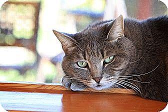 Domestic Shorthair Cat for adoption in Brimfield, Massachusetts - Pam Pam - House Spirit