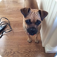 Adopt A Pet :: Roxy - Potomac, MD