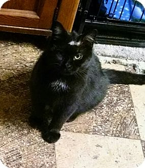 Domestic Mediumhair Cat for adoption in Garden City, Michigan - Grace