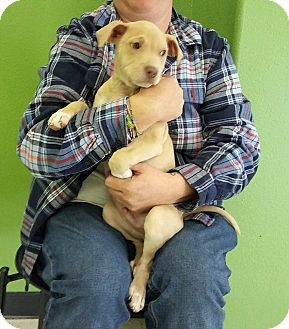 Terrier (Unknown Type, Medium) Mix Puppy for adoption in Albuquerque, New Mexico - Manny