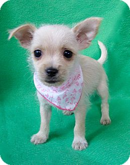 Chihuahua/Terrier (Unknown Type, Small) Mix Puppy for adoption in Irvine, California - Marilyn