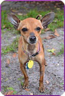 Chihuahua Mix Dog for adoption in Gainesville, Florida - Taco
