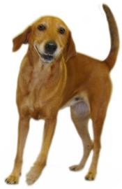 Vizsla Mix Dog for adoption in Inverness, Florida - Sally