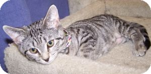 Domestic Shorthair Kitten for adoption in Colorado Springs, Colorado - K-Psyche4-Pounce