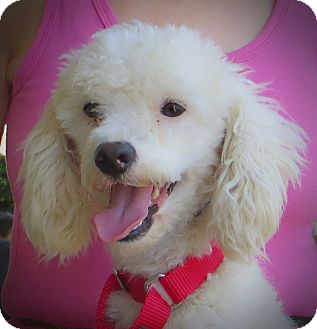 Poodle (Toy or Tea Cup) Dog for adption in Long Beach, California - Lance