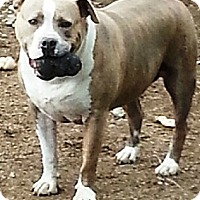 American Staffordshire Terrier Mix Dog for adoption in Battle Creek, Michigan - Rinn