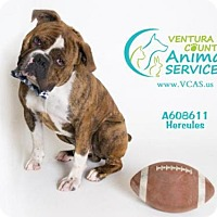 Adopt A Pet :: A608611 In Danger at Camarillo Shelter - Beverly Hills, CA