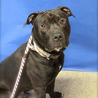 Labrador Retriever Mix Dog for adoption in Brookhaven, New York - Huck