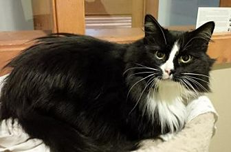 Domestic Longhair Cat for adoption in Diamondville, Wyoming - Zoey