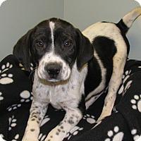 Adopt A Pet :: Balto - Groton, MA
