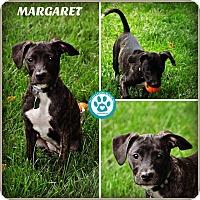 Adopt A Pet :: Margaret - Kimberton, PA
