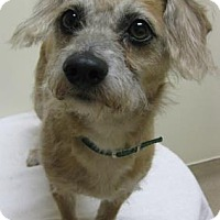 Adopt A Pet :: Scrappy - Gary, IN