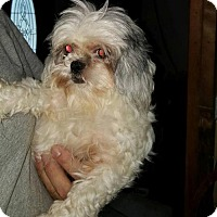 Shih Tzu Mix Dog for adoption in Inver Grove, Minnesota - Linny (PENDING)