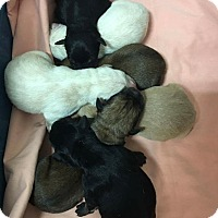 Adopt A Pet :: 7 Up Mama and Litter - Pompton Lakes, NJ